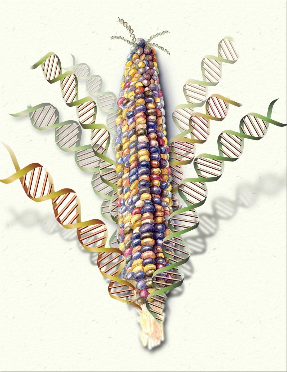 Forscher liefern die derzeit umfassendste Analyse des Mais-Genoms  (Quelle: © Nicolle Rager Fuller / National Science Foundation)
