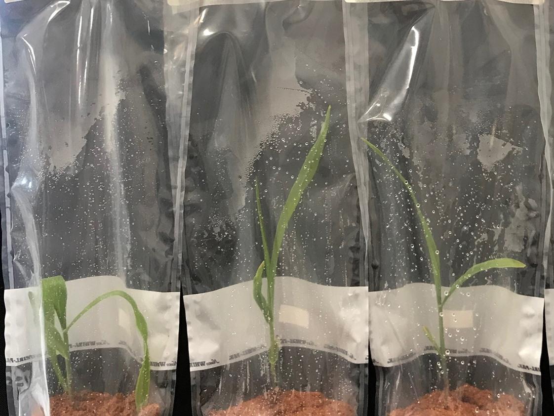 Junge Maispflanzen, die unter sterilen Laborbedingungen wachsen.