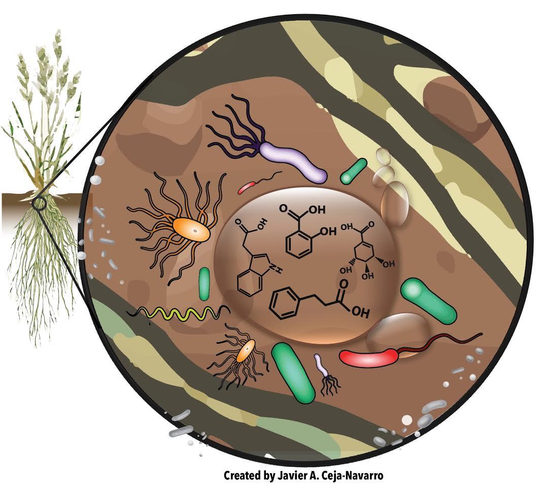 Mikroben, die im Bereich der Pflanzenwurzeln leben, nehmen spezifische organische Säuren aus den Wurzelexsudaten auf.