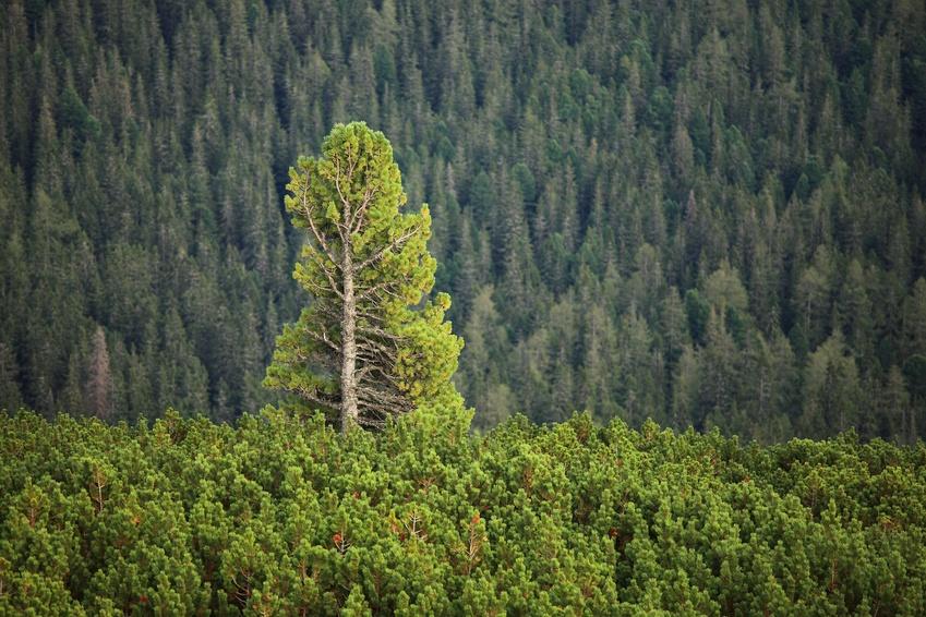 Nadelwald: Der Einfluss der Vegetation ist in globalen Modellen schwer zu erfassen.