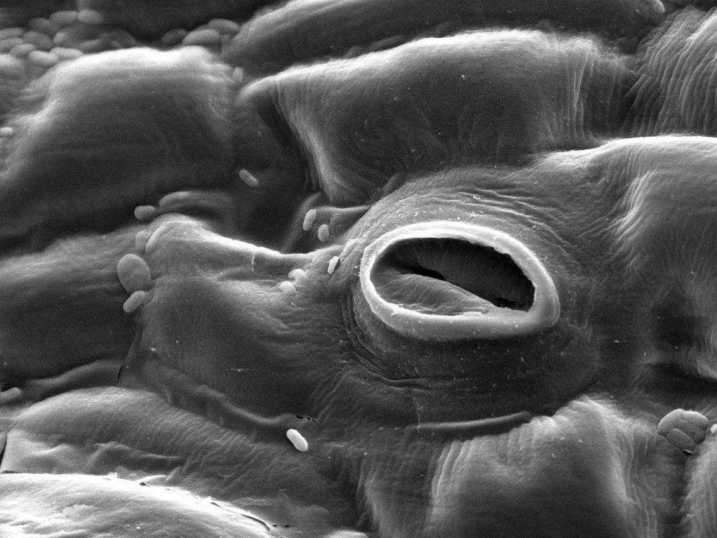Stomata, die Spaltöffnungen von Pflanzen, können einen präziseren Aufschluss über Kohlendioxid-Konzentrationen in der unteren Atmosphäre geben. (Bildquelle: © LouisaHoward/wikimedia.org; CC0)