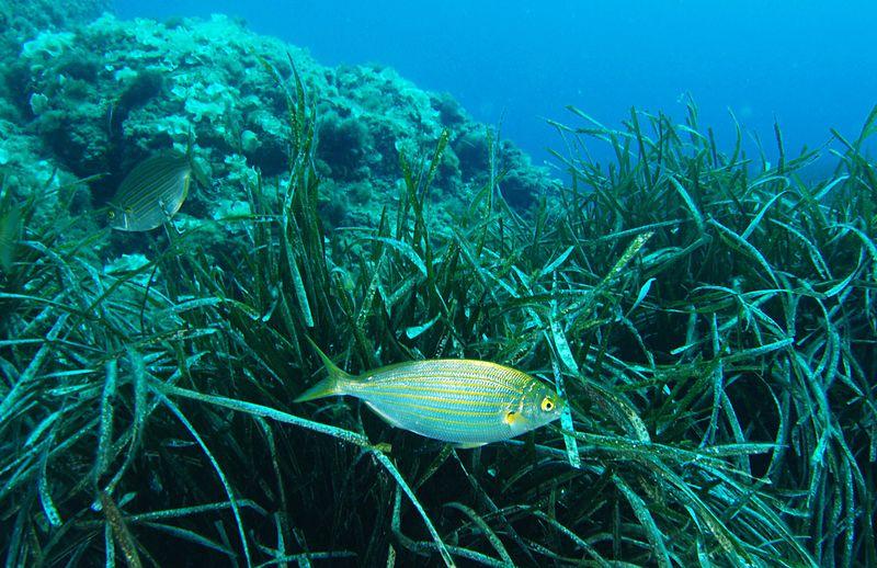Neptungras ist ein wichtiger mariner Lebensraum und hat zudem großen Einfluss auf das Weltklima.