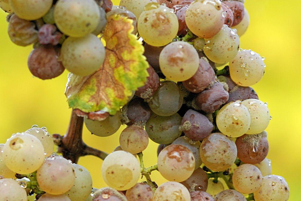 Grauschimmelfäule auf Riesling-Trauben. Je nach Reifegrad der Weintrauben kann ein Befall mit Botrytis cinerea verheerende oder positive Folgen haben. (Quelle: © Tom Maack/wikimedia.org, CC BY-SA 3.0)