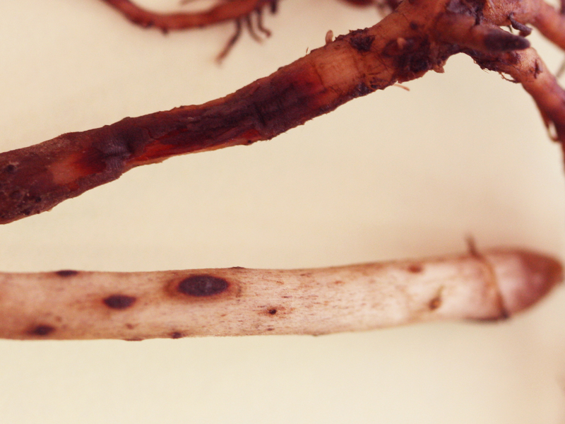 Wurzeln der nicht-resistenten Bananensorte (oben) und der resistenten Bananensorte (unten): Die resistente Sorte besitzt wenig befallenes (dunkles) Wurzelgewebe. Die massiven Schäden an den Wurzeln der nicht-resistenten Banane führen zum Absterben der Pflanze.