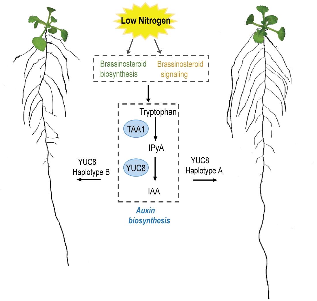 Bei leichtem Stickstoffmangel bildet die Versuchspflanze längere Seitenwurzeln aus. An diesem Vorgang sind Phytohormone beteiligt: Erst Brassinosteroide und dann Auxine. Manche Pflanzen zeigten jedoch längere Seitenwurzeln (rechts) als andere (links).