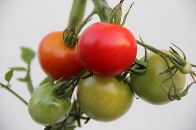Eine Tomatenpflanze kann gleichzeitig Früchte verschiedener Reifegrade tragen.