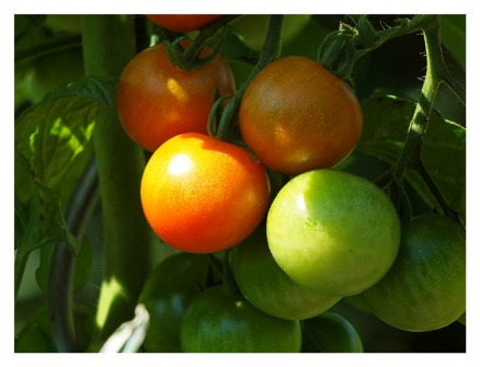 Tomaten aus Schweden? Der Klimawandel könnte es möglich machen (Quelle: © Manfred Schimmel / PIXELIO www.pixelio.de).