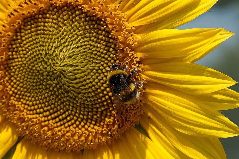 Der verbreitetste Phänotyp: Sonnenblume mit länglichen gelben Blütenblättern am Rand und pollenreichen Röhrenblüten im Zentrum.