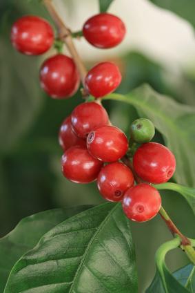 Die Früchte der Kaffeepflanzen werden Kaffeekirschen genannt (Quelle: © Marina Lohrbach / Fotolia.com)