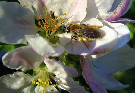 Den STEP-Forschern zufolge bestäuben manche Wildbienen einige Pflanzen effizienter als Honigbienen(Quelle: © Susanne Schmich / pixelio.de).