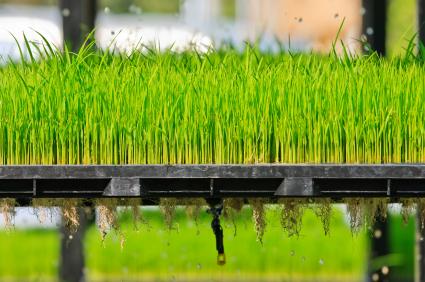 Die indica-japonica Reishybride sind zwar lebensfähig und ertragreich, sie können sich jedoch nicht weitervermehren.