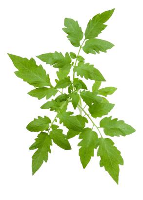 Tomatenblätter wachsen spiralförmig und neigen sich dabei in Richtung der Wachstumsspirale. (Quelle: © iStockphoto.com/ bergamont)
