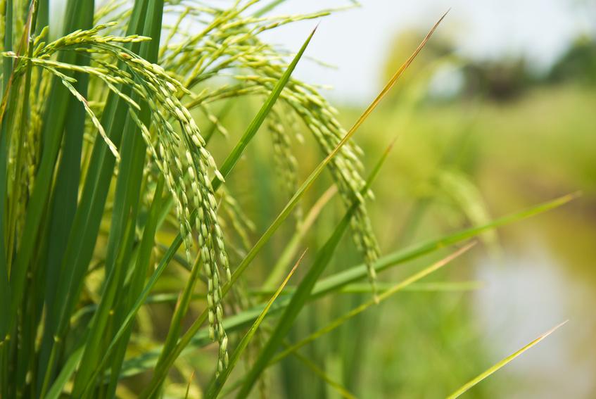 Reis ernährt rund die Hälfte der Menschen auf der Erde, doch wenn der Boden salzig ist, wächst die Pflanze nicht richtig und die Ernte fällt geringer aus. (Quelle: © wuttichok/Fotolia.com)