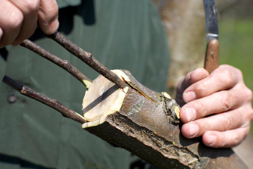 Menschen nutzen die Pfropfung zum Beispiel bei Obstbäumen, um sie resistenter und ertragreicher zu machen. (Bildquelle: © iStock.com/KristianSeptimiusKrogh)