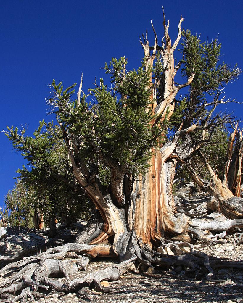 Manche Exemplare der Langlebigen Kiefer (Pinus longaeva) haben ein stattliches Alter von über 4.000 Jahren.