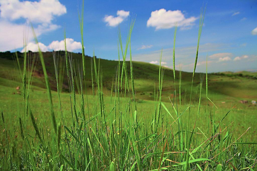 Einkorn ist relativ anspruchslos in Bezug auf die Qualität des Bodens. Er ist zudem resistent gegen vieleSchädlingeund kann sich besser gegen die Konkurrenz von Ackerunkräutern durchsetzen als moderne Weizensorten. Allerdings ist der Ertrag erheblich geringer.