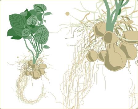 Erfahren Sie mehr über die Kartoffel: Steckbrief