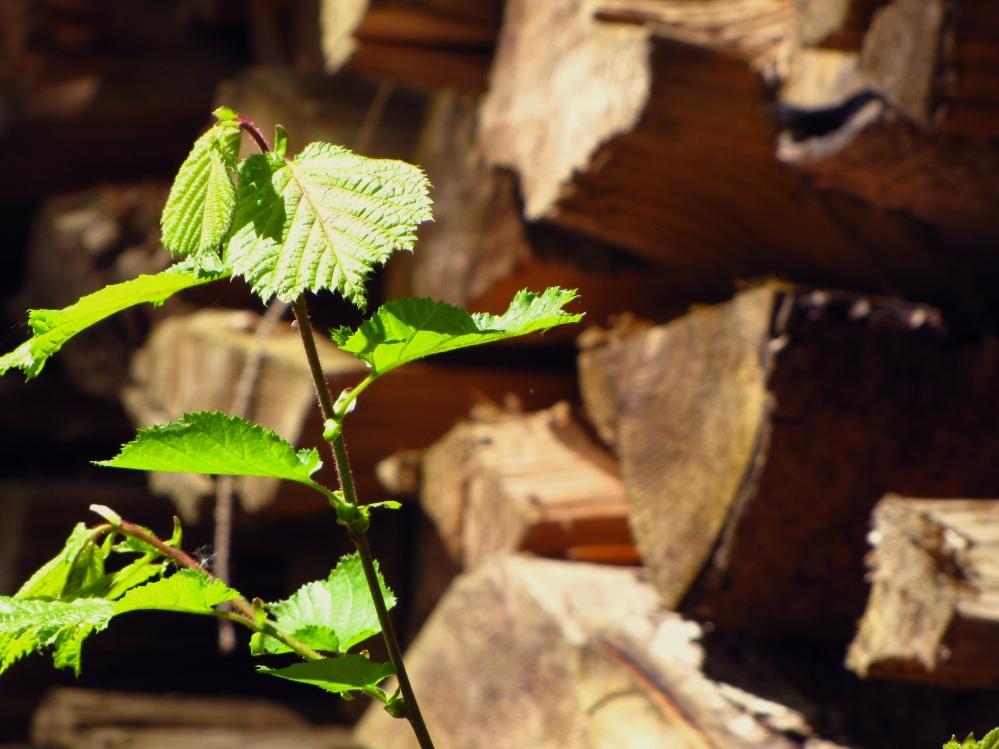 Vollständige Verwertung des nachwachsenden Rohstoffes erwünscht. (Quelle: © Rainer Sturm / PIXELIO - www.pixelio.de)