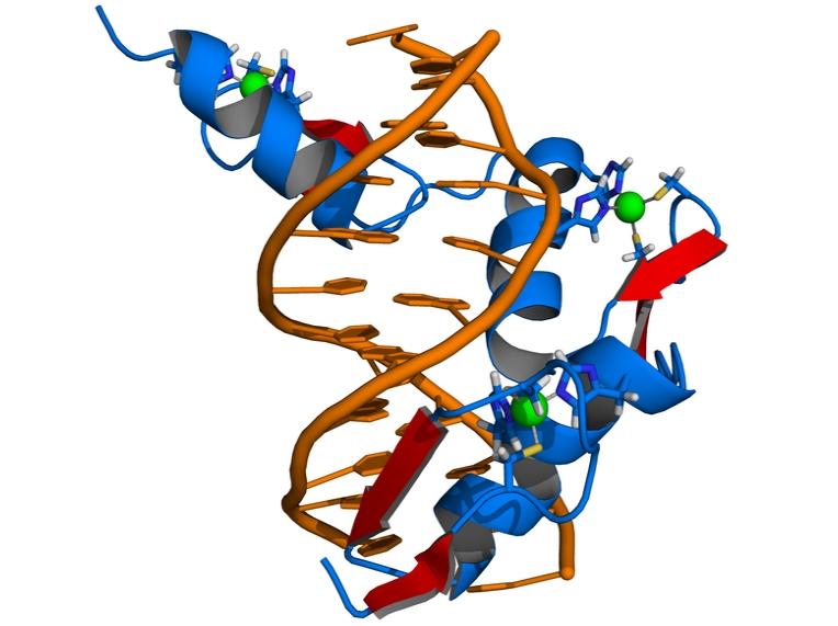 Die Schematische Darstellung zeigt die Bindung eines Zinkfingerproteins (blau) an die doppelsträngige DNA (orange). Die hier abgebildete Zinkfingernuklease besteht aus drei Zinkfingermotiven. Die roten Pfeile weisen auf die spezi-fischen Bindungsstellen zwischen den Proteinresten des Zinkfingermoleküls und der DNA hin. Grün dargestellt sind Zinkionen (Quelle: © Thomas Splettstoesser / wikipedia.org).