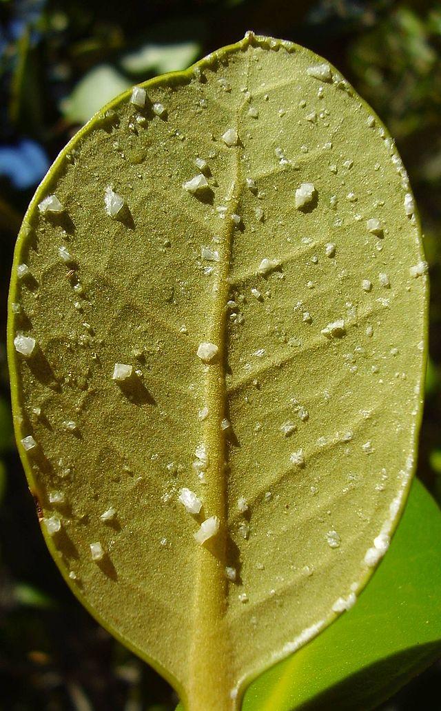 Die Unter- und Oberseite des Blattes des Mangrovenbaums (hier: Avicennia marina) besitzt Salzdrüsen, die das überschüssige Salz in gelöster Form aus der Pflanze ausscheiden. Nachdem die Flüssigkeit getrocknet ist, bleiben Salzkristalle zurück.