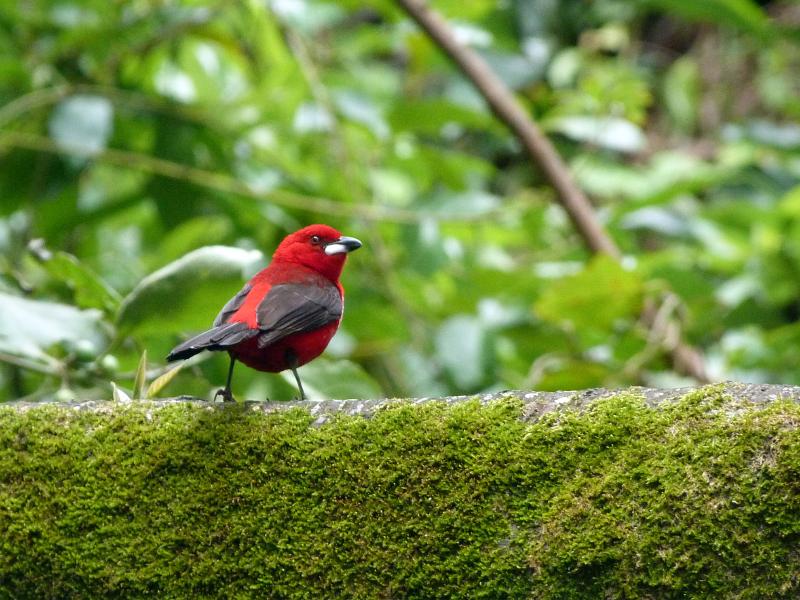 Die Bestäubung durch Vögel, wie z.B. Tangaren, kommt vorwiegend in den Tropen und Subtropen vor. (Bildquelle: © iStock.com/ NataliaAllenspach)