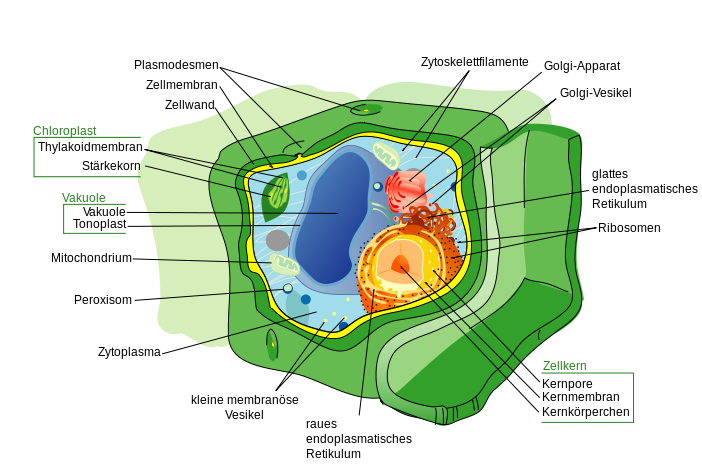 In pflanzlichen Zellwänden (Grün) steckt unglaublich viel Energie, die bisher nicht effizient genutzt werden kann. Forscher wollen deshalb neue Pflanzen züchten, deren Zellwände sich leichter aufschließen lassen.