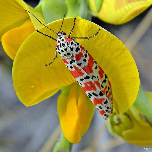 Utetheisa ornatrix sind dank der Pyrrolizidin-Alkaloide, welche sie über Crotalaria Blätter und Früchte aufnehmen, unappetitlich für Fressfeinde. Es wurden aber auch Fälle von Kanibalismus beobachtet, bei denen sich Raupen gegenseitig verpeisten, um ihren Bedarf zu decken.