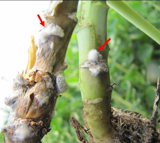 Der Schadpilz Sclerotinia sclerotiorum hat diese Rapspflanzen infiziert. Pfeile kennzeichnen die Hyphen des Pilzes.