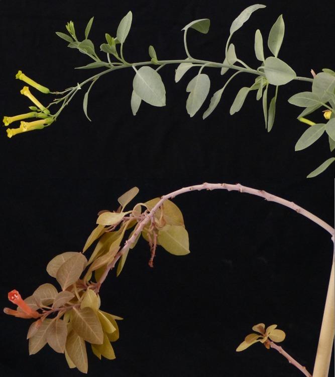 Oben: Herkömmlicher Baumtabak Unten: Lachsfarbener Baumtabak mit neu-integriertem Stoffwechsel zur Astaxanthin-Produktion.