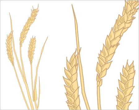 """Bedeutung von Weizen in Zahlen:   Weltweit wird auf 220 Millionen Hektar Ackerland Weizen angebaut. Im Jahr 2014 betrug die Erntemenge 729 Tonnen. 55 Prozent aller weltweit aufgenommenen Kohlenhydrate stammen aus Weizen. Das """"goldene Korn"""" versorgt die Menschheit mit mehr als 60 Prozent der benötigten Kalorien und Proteinen."""
