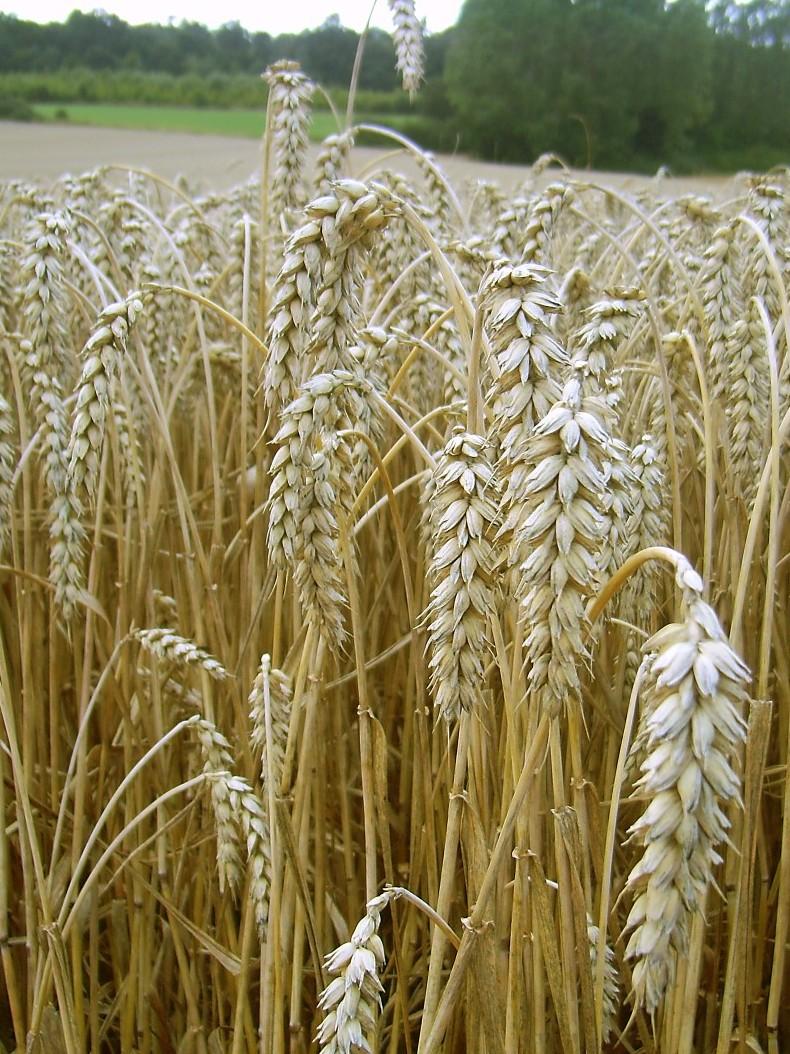 Steigende Temperaturen im Zuge des Klimawandels werden die Erträge von Nutzpflanzen reduzieren, fürchten Forscher. (Quelle: © H.-J. Sydow / wikimedia.org; gemeinfrei)