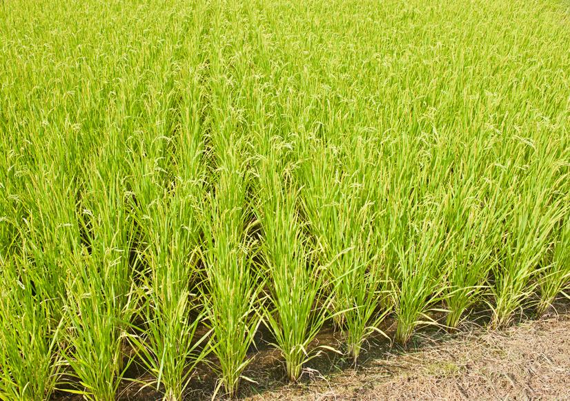Reisfeld: Bis zu 80 Prozent Ernteausfall durch verwilderte Reissorten. (Quelle: © Fyle / Fotolia.com)