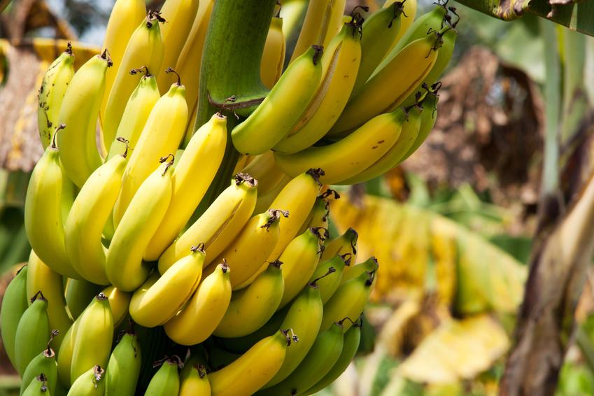 Für etwa 400 Millionen Menschen in den Ländern der tropischen und subtropischen Regionen zählen Bananen zu den Grundnahrungsmitteln. (Quelle: © Digitalpress - Fotolia.com)