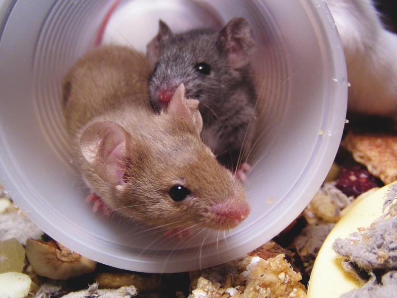 Mehr Schein als Sein: Trotz enormen äußerlichen Unterschieden ist die DNA-Sequenz des Menschen und die der Maus zu ca. 97,5 Prozent identisch. Doch wie kann man das erklären? Die Genom Editierung kann Antworten liefern.