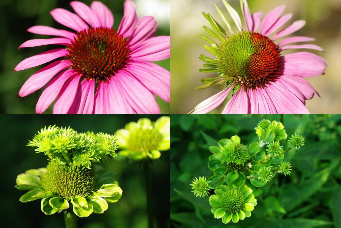 Der Befall mit Phytoplasmen bewirkt, dass die Pflanzen (hier: Astern) anstelle von Blüten (oben links), verkümmerte Blattstrukturen (oben rechts) sowie vegetative Triebe (unten) ausbilden.