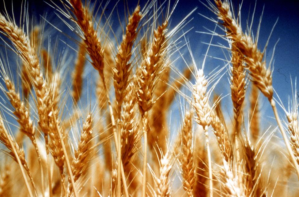 Weizen gehört zu den wichtigsten Nahrungspflanzen weltweit. (Bildquelle: © CSIRO, CC BY 3.0)