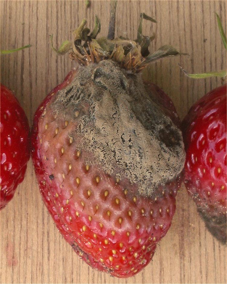 Botrytis cinerea ist ein grauer Schimmelpilz, der Obst, Gemüse und Blumen befällt.
