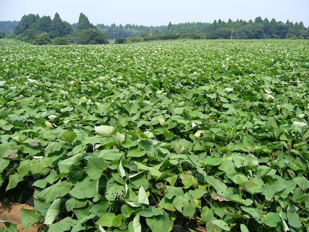 Auch in Asien, wie hier in Japan, ist die Süßkartoffel beliebt. China beispielsweise produziert mit etwa 72 Millionen Tonnen pro Jahr die meisten Süßkartoffeln weltweit.