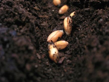 Durch gezielte Selektion entstanden unsere heutigen Nutzpflanzen: Nur der Samen der besten Pflanzen wurde von unseren Vorfahren gesät.