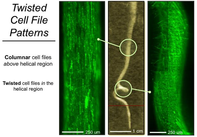 Stoßen die Wurzeln der Kleepflanze Medicago truncatula auf harte Böden, beginnen sie sich zu winden. Diese Wurzelgeometrie soll der Wurzelspitze mehr Schubkraft verleihen, um harte Böden zu durchstoßen. (Quelle: © Cornell University)