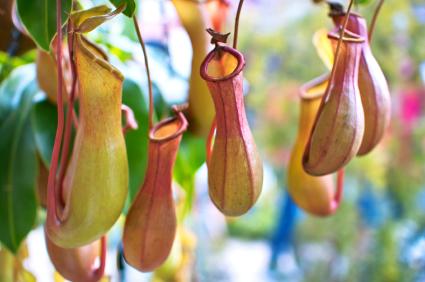 Kannenpflanzen (Nepenthes) bilden die unterscheidlichsten Kannen zum Beutefang aus. Die Beute rutscht auf dem glatten Rand ab und fällt in die Kanne, wo sie von Verdauungsflüssigkeit zersetzt wird.