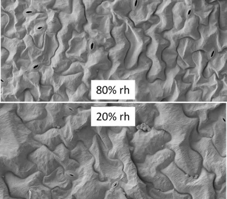 Elektronenmikroskopische Aufnahmen von Blattoberflächen der Arabidopsis thaliana. Pflanzen justieren die Öffnung ihrer Spaltöffnungen (Stomatat) genau. Bei hoher Luftfeuchte (80%) sind die Stomata deutlich weiter geöffnet als bei 20%. Die Stomata befinden sich bei den meisten Pflanzen auf der Unterseite der Blätter.