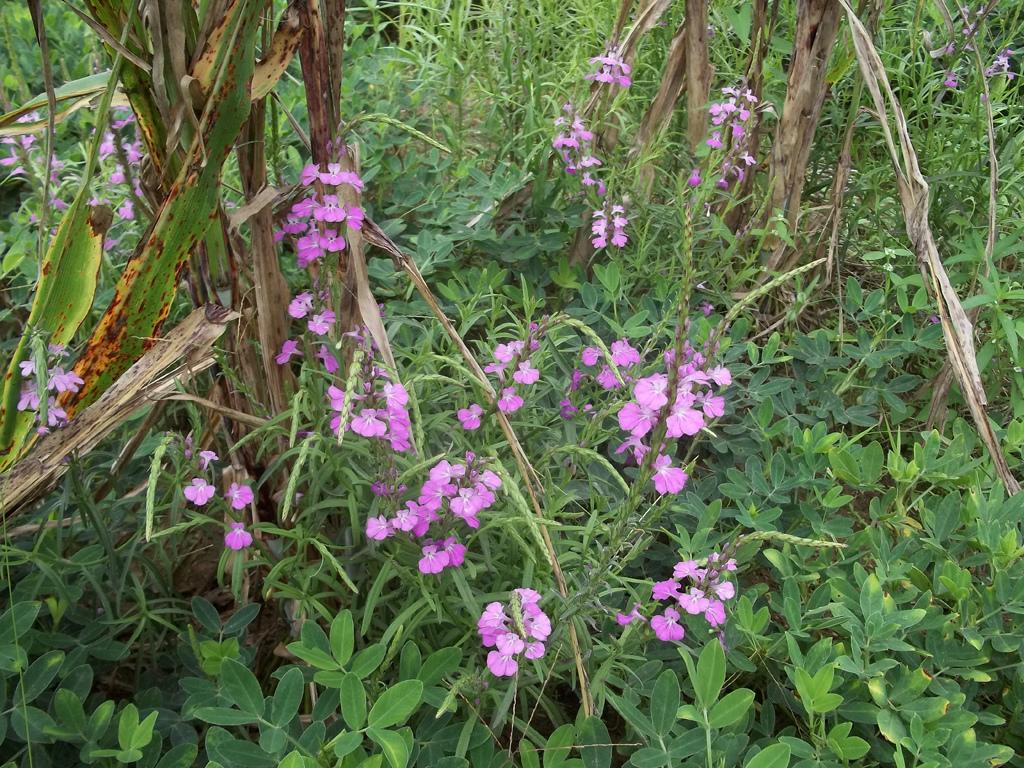 Sie sehen unscheinbar, gar schön aus, doch was hier lila aus dem Boden kommt, sind die Blüten der parasitären Striga-Pflanze, die vor allem in Afrika zu Ernteverlusten führt.