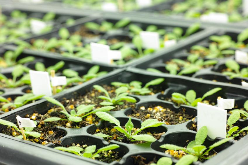 Die Ackerschmalwand (Arabidopsis thaliana) ist die beliebteste Modellpflanze der Pflanzenforschung. (Bildquelle: © sinitar/ Fotolia.com)
