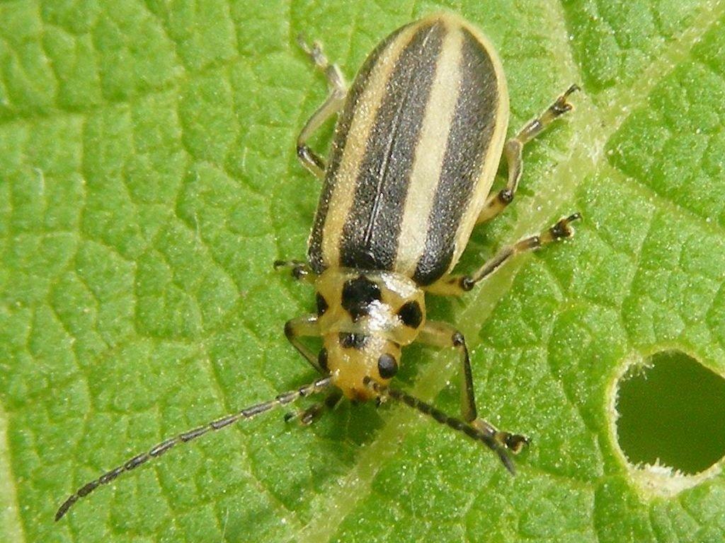 Manche Versuchspflanzen waren vor dem Experiment dem gefräßigen Blattkäfer Trirhabda virgata bzw. dessen Larven ausgesetzt, andere wurden gezielt vor Angreifern geschützt.