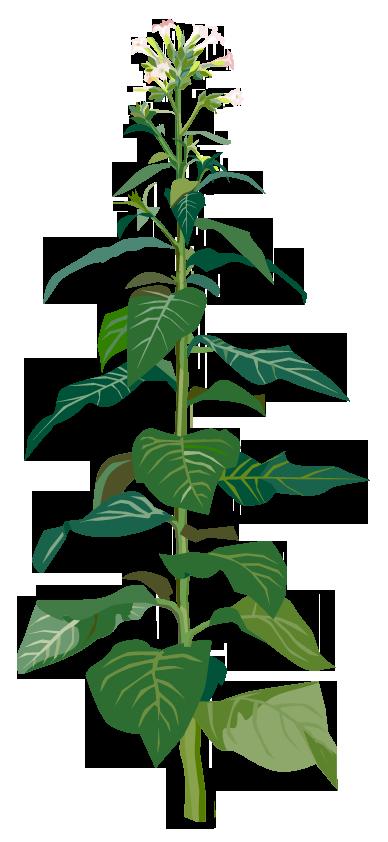 Tabak – Nicotiana tabacum