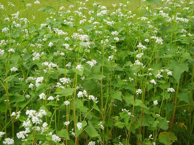 Die Forscher pflanzten einen Blühstreifen am Rand der Felder. Sie nutzten dabei Buchweizen Fagopyrum esculentum.