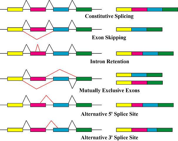 Durch alternatives Spleißen können aus einem Typ prä-RNA ganz unterschiedliche mRNAs und Proteine entstehen.