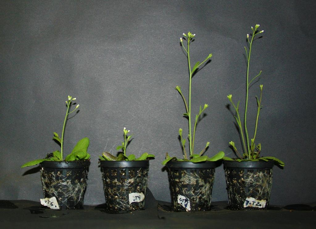 """Arabidopsis thaliana reagieren auf Berührung. Hat die Pflanze allerdings das Gen """"AtGA2ox7"""" verloren (Mutante), reagiert sie nicht mehr auf Berührung (Pflanzen von links nach rechts: Wildtyp, Wildtyp zweimal täglich berührt; Mutante, Mutante zweimal täglich berührt)."""