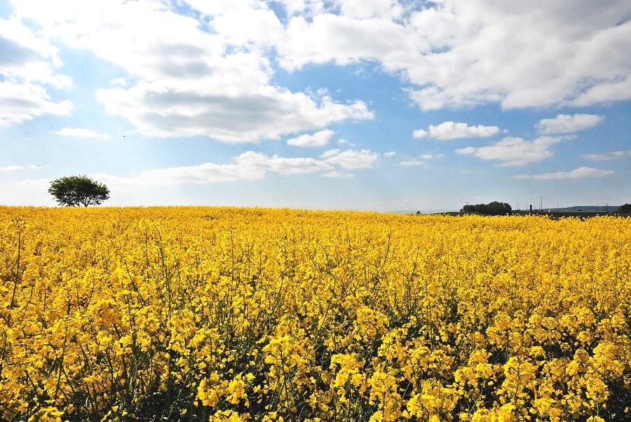 Der gelbe Schein trügt. Hohe Erträge fordern einen hohen Preis: der Verlust von Artenvielfalt. (Bildquelle: © Gallus Tannheimer/ pixelio.de)